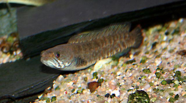 schlangenkopffisch channa kaufen ebay