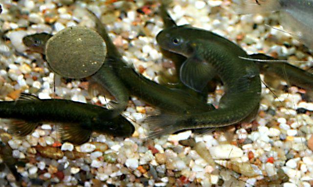 tanganjika fische züchter